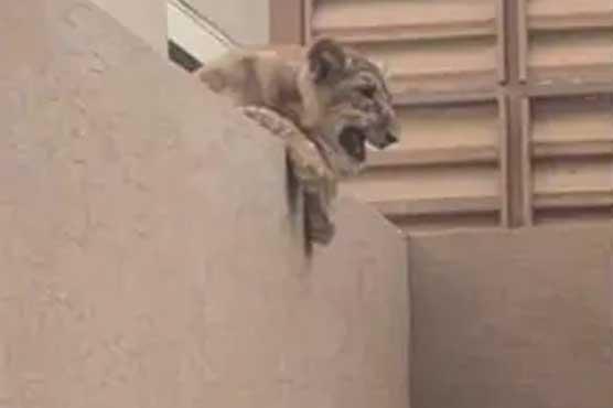 lion_1596546901.jpg