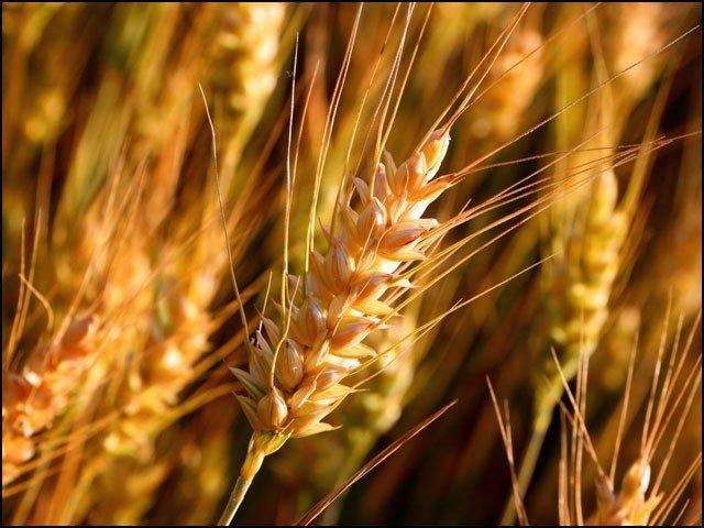 wheat_1606842460.jpg